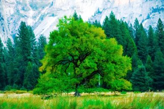 Summer Tree, Yosemite Valley